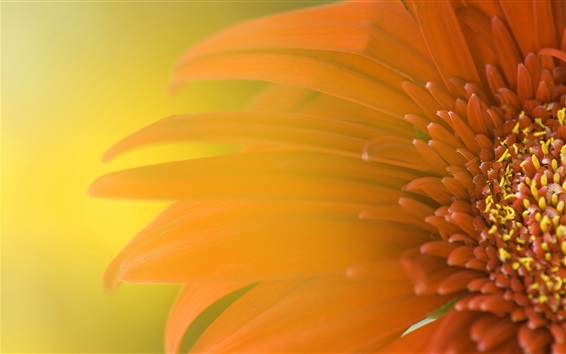 Wallpaper Daisy flower macro photography, orange color petals