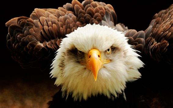 Fond d'écran Aigle avant vue, yeux, bec, plumes