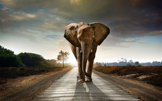 Wallpaper Elephant walk at sunset road