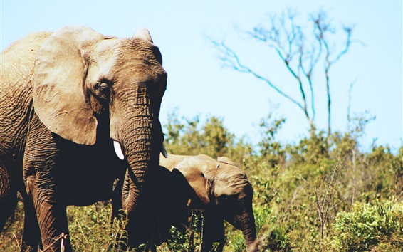 Wallpaper Elephants, cub, wildlife, grass