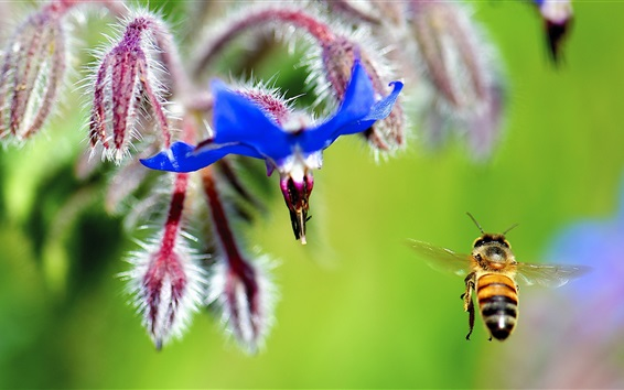 Wallpaper Flower, blue petals, bee flying, insect