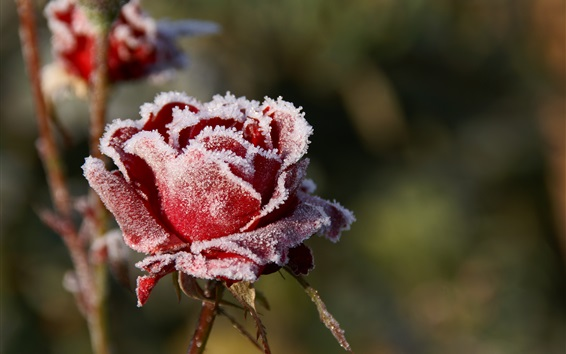 Wallpaper Frost red rose flower, cold