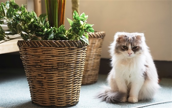 Papéis de Parede gatinho branco peludo sentar, cesta, sala