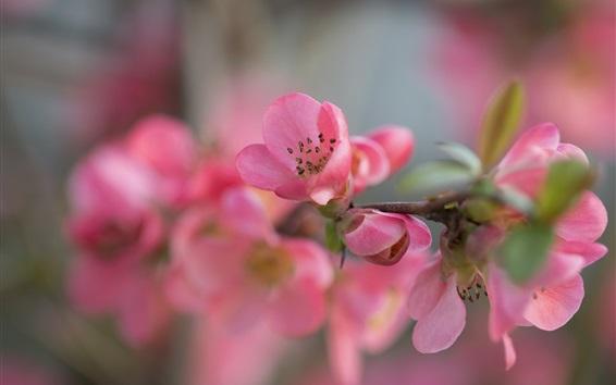 Fond d'écran fleurs de jardin macro photographie, pétales roses