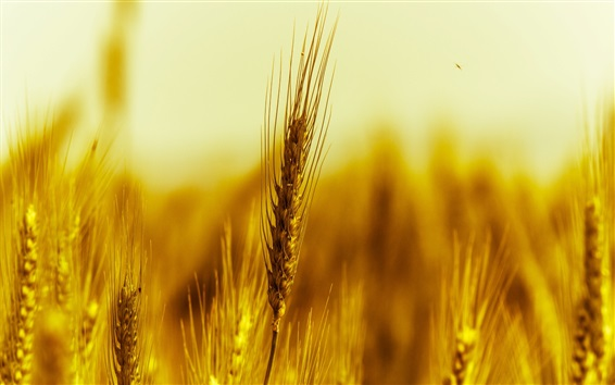 Wallpaper Gold wheat macro photography