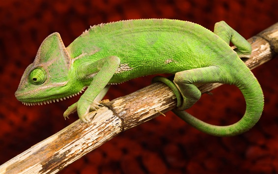 Wallpaper Green chameleon, animals photography