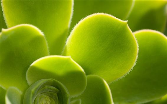 Papéis de Parede As plantas verdes close-up, folhas, vilosidades