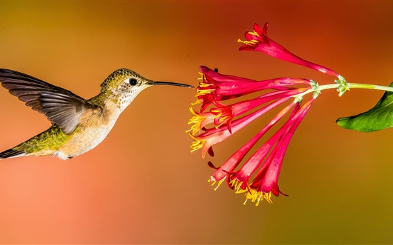 Wallpaper Hummingbird flying, red flowers