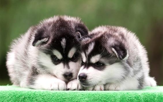 Fond d'écran Chiots Husky, deux chiens