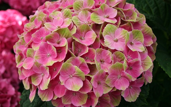 Wallpaper Hydrangea pink flowers