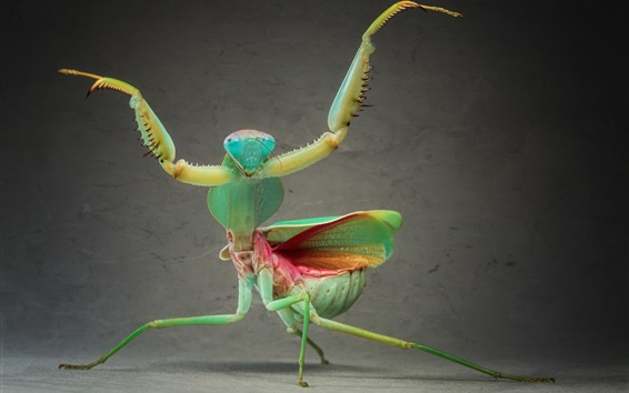 Wallpaper Insect close-up, mantis dancing