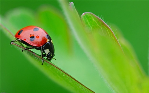 Wallpaper Insect ladybug, green leaf, bokeh