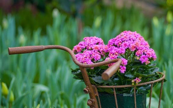 Wallpaper Kalanchoe flowers, bike basket