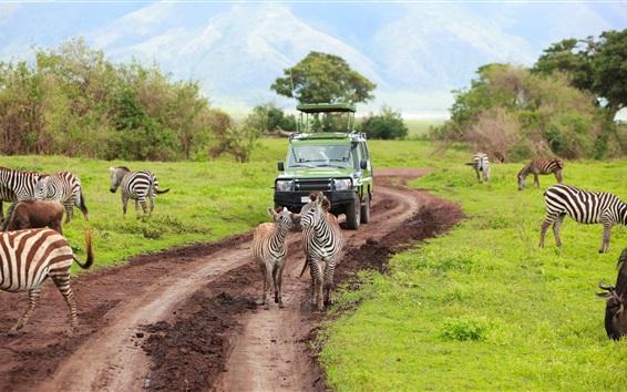 Papéis de Parede Kenya, Tanzânia, safari, zebra