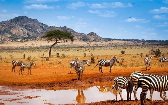 Обои Сафари Кении, зебры, вода, голубое небо