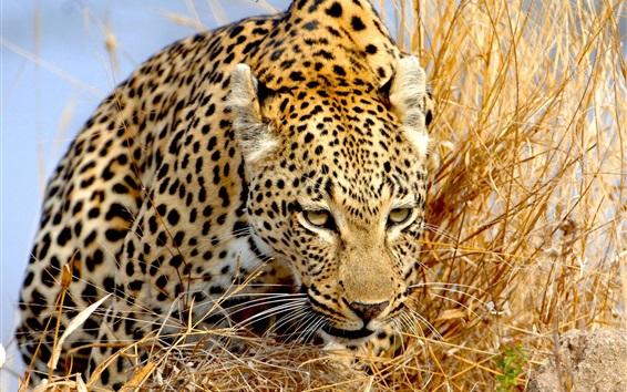 Papéis de Parede Leopard na grama