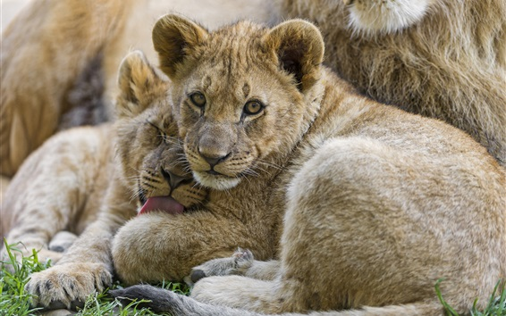 Wallpaper Lion cubs look at you