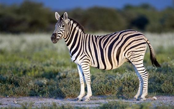 Papéis de Parede zebra solitária