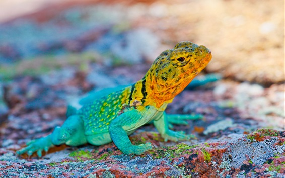 Wallpaper Mexico lizard, colorful, stones