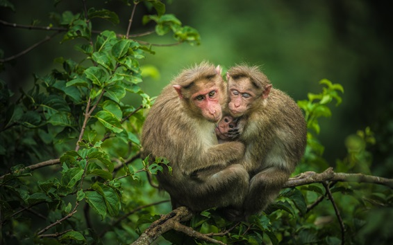 Papéis de Parede Monkeys a família na árvore