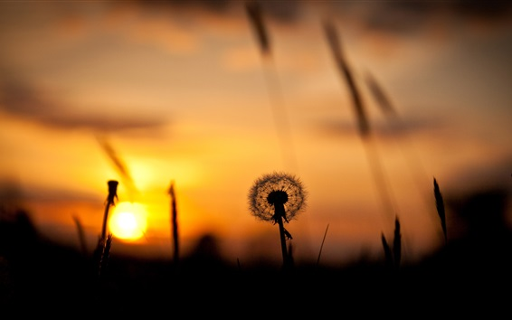 nature sunset grass dandelion - photo #4