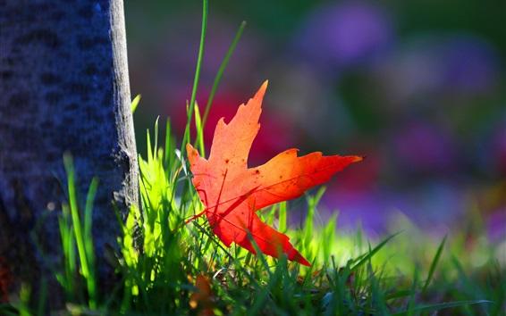 Wallpaper One red maple leaf, grass, sunshine