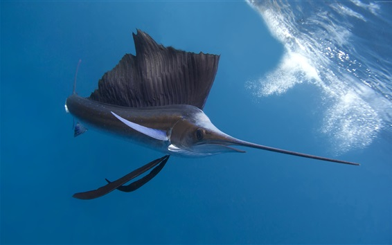 Wallpaper Pacific sailfish, underwater, Thailand ocean