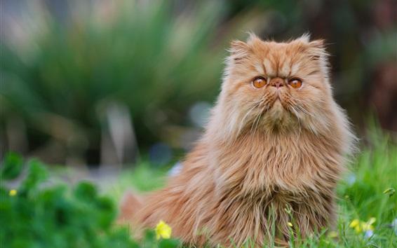 Обои Персидский кот, пушистый котенок