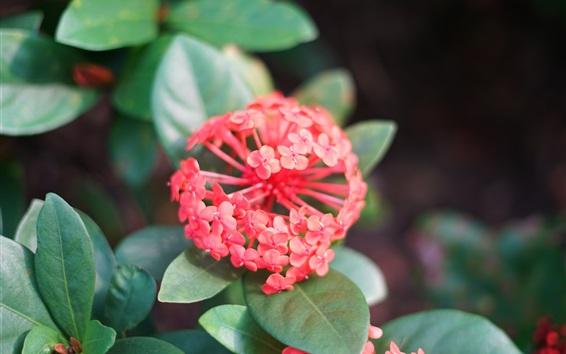 배경 화면 핑크 Ixora, 잎이 많은