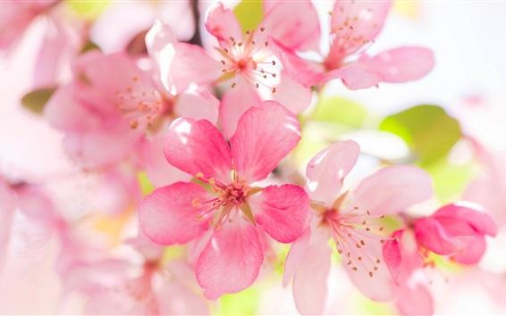 Papéis de Parede Rosa maçã flores bloom