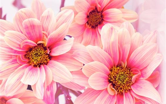 Wallpaper Pink flowers, chrysanthemums