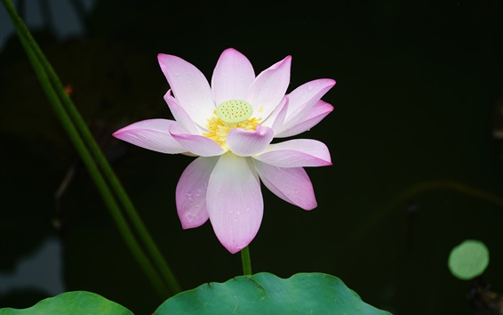 Wallpaper Pink lotus, green leaves, water drops