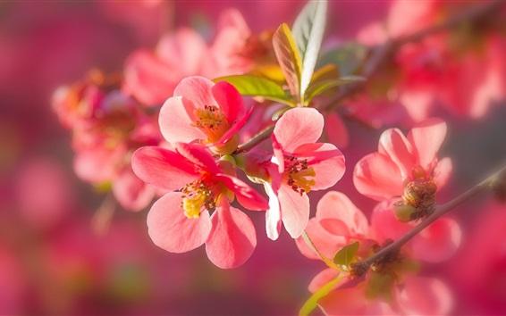 Fondos de pantalla flores de color rosa membrillo fotografía macro