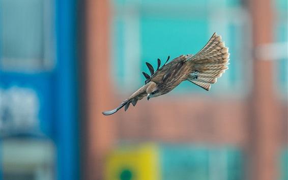 Fond d'écran Predator, faucon volant