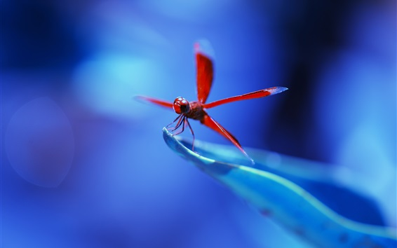 Wallpaper Red dragonfly, blue background