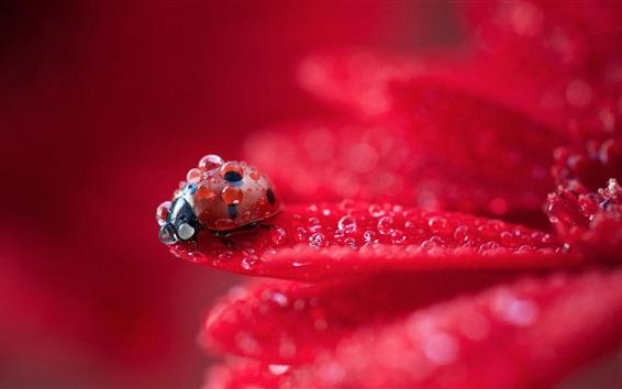 Wallpaper Red flower petals macro photography, dew, ladybug