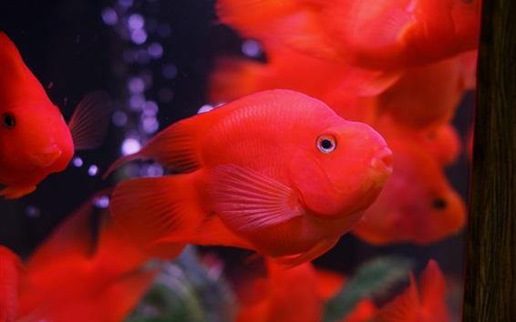 Fondos de pantalla peces de colores rojo