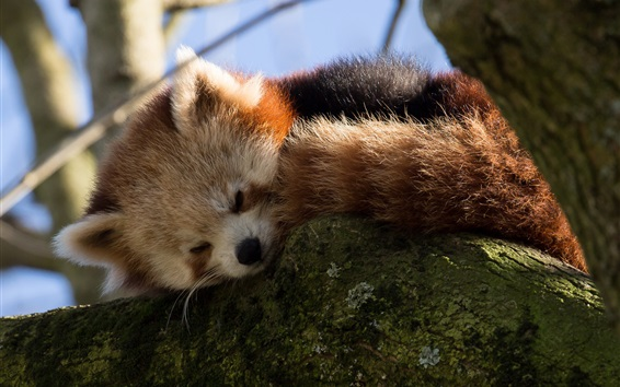Wallpaper Red panda falling asleep