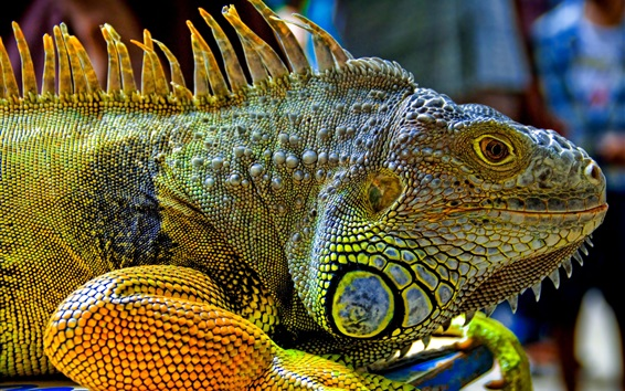 Wallpaper Reptiles green iguana head close-up