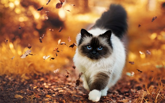 Wallpaper Siamese cat walking in autumn