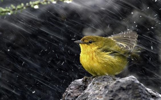 Wallpaper Sparrow in rain