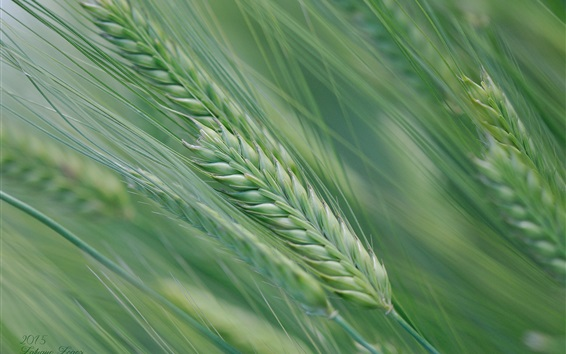 Wallpaper Spring, wheat field, spikelets, green