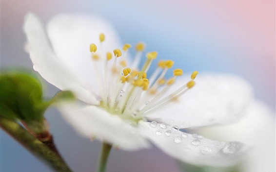 Wallpaper Spring white flower macro photography, petals, dew