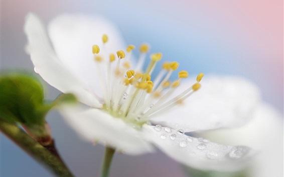 Fondos de pantalla Primavera flor blanca fotografía macro, pétalos, rocío