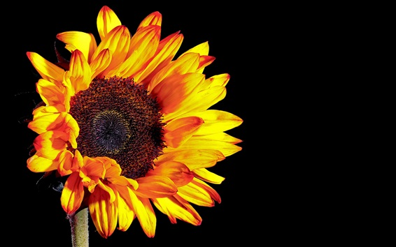 Wallpaper Sunflower photography, black background