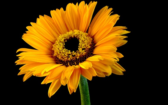 Wallpaper Sunflower, yellow petals, black background