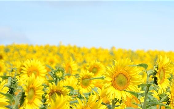 Papéis de Parede campos de girassóis, céu azul, verão