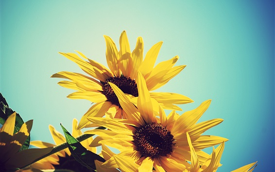 Wallpaper Sunflowers, yellow petals, blue sky