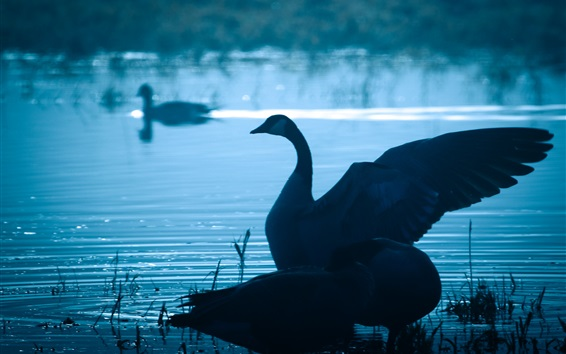 Wallpaper Swan in lake at dusk, wings