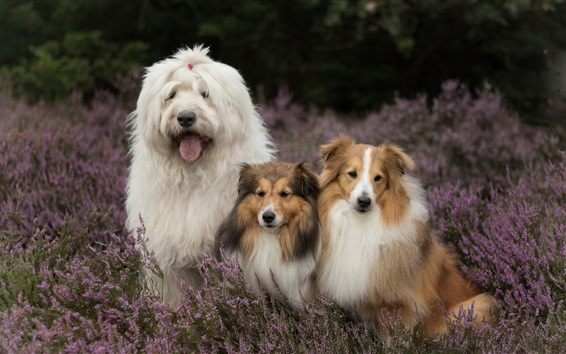 Wallpaper Three dogs in lavender flowers